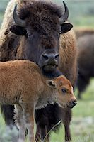 Bison (Bison bison) cow and calf, Yellowstone National Park, Wyoming, United States of America, North America Stock Photo - Premium Rights-Managednull, Code: 841-07355072