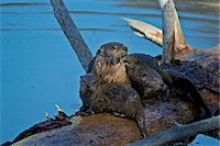River otter (Lutra canadensis) mother and two pups, Yellowstone National Park, Wyoming, United States of America, North America Stock Photo - Premium Rights-Managednull, Code: 841-07355078