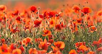 Wild poppies on a beautiful summer's day, Dorset, England, United Kingdom, Europe Stock Photo - Premium Rights-Managednull, Code: 841-07355187