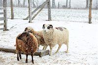 ram (animal) - Sheep In Snow Stock Photo - Premium Rights-Managednull, Code: 822-07355663