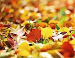 Tallow Tree Leaves on the Ground Stock Photo - Premium Rights-Managed, Art