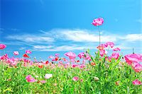 scenic and spring (season) - Poppies Stock Photo - Premium Rights-Managednull, Code: 859-07356291