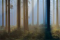 fog (weather) - Spruce Forest in Early Morning Mist, Odenwald, Hesse, Germany Stock Photo - Premium Royalty-Freenull, Code: 600-07357268