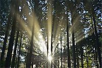 streaming - Sun shining through Forest, Schleswig-Holstein, Germany Stock Photo - Premium Royalty-Freenull, Code: 600-07431235