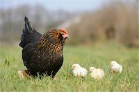 Close-up of Chicken (Gallus gallus domesticus) Hen with Chicks in Meadow in Spring, Upper Palatinate, Bavaria, Germany Stock Photo - Premium Rights-Managednull, Code: 700-07435037