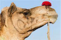 rajasthan camel - Profile of a camel at the Pushkar Fair, Rajasthan, India Stock Photo - Premium Royalty-Free, Artist: Blend Images, Code: 6118-07440004