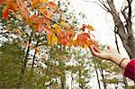 A person reaching up to the autumn foliage on a tree branch.
