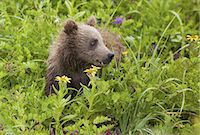 Brown bear cub, Lake Clark National Park, Alaska, USA Stock Photo - Premium Royalty-Free, Artist: Ikon Images, Code: 6118-07440323