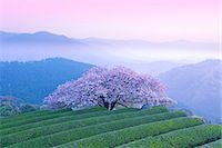 fantastically - Cherry blossoms Stock Photo - Premium Rights-Managednull, Code: 859-07441532
