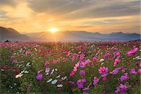 fantastically - Flower field Stock Photo - Premium Rights-Managednull, Code: 859-07441920