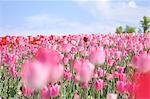 Flower field Stock Photo - Premium Rights-Managed, Artist: Aflo Relax, Code: 859-07442192