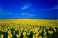 earth no people - Flower field Stock Photo - Premium Rights-Managednull, Code: 859-07442204