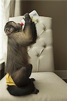 A capuchin monkey in a bedroom seated on a chair, drinking from a bottle Stock Photo - Premium Rights-Managed, Artist: Mint Images, Code: 878-07442460
