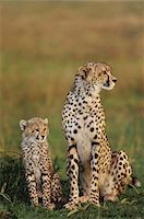 Cheetah mother and cub, Acinonyx jubatus, Masai Mara Reserve, Kenya Stock Photo - Premium Rights-Managednull, Code: 878-07442634