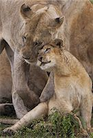 A lion cub and its mother, Panthera leo, rubbing cheeks and nuzzling in Serengeti National Park, Tanzania Stock Photo - Premium Rights-Managednull, Code: 878-07442659