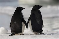 Adelie penguins standing side by side toucing flippers on Paulet Island, Antarctica Stock Photo - Premium Rights-Managednull, Code: 878-07442685