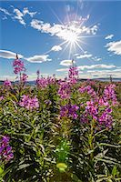 Dwarf fireweed (River Beauty willowherb) (Chamerion latifolium), Hebron, Labrador, Canada, North America Stock Photo - Premium Royalty-Freenull, Code: 6119-07443688