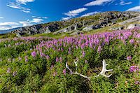 Dwarf fireweed (River Beauty willowherb) (Chamerion latifolium), with caribou antlers in Hebron, Labrador, Canada, North America Stock Photo - Premium Royalty-Freenull, Code: 6119-07443690