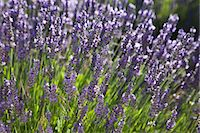 Lavender fields, Provence, France, Europe Stock Photo - Premium Royalty-Freenull, Code: 6119-07452675