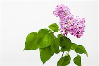 spring flowers - Close-up of pink lilac (Syringa), studio shot on white background Stock Photo - Premium Royalty-Freenull, Code: 600-07453775