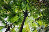 palm - Looking up at Palm Trees, Mahe, Seychelles Stock Photo - Premium Royalty-Freenull, Code: 600-07453867