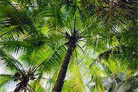 seychelles - Looking up at Palm Trees, Mahe, Seychelles Stock Photo - Premium Royalty-Freenull, Code: 600-07453867