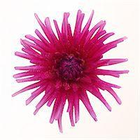 stamen - Spikey purple 'cactus' dahlia flower in square . Stock Photo - Premium Royalty-Freenull, Code: 6106-07455674