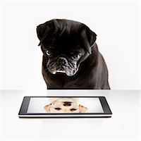 Pug looks at a labrador puppy on a computer tablet Stock Photo - Premium Royalty-Freenull, Code: 6106-07455685