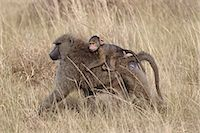 serengeti national park - Olive baboon (Papio cynocephalus anubis) infant riding on its mother's back, Serengeti National Park, Tanzania, East Africa, Africa Stock Photo - Premium Rights-Managed, Artist: Robert Harding Images, Code: 841-07457424