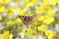 small tortoiseshell butterfly Aglais Urticae Stock Photo - Premium Royalty-Freenull, Code: 618-07458044