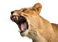 roar lion head picture - Close-up of a Lioness roaring, Panthera leo, 10 years old, isolated on white Stock Photo - Royalty-Freenull, Code: 400-07463431