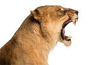roar lion head picture - Close-up of a Lioness roaring profile, Panthera leo, 10 years old, isolated on white Stock Photo - Royalty-Freenull, Code: 400-07463437