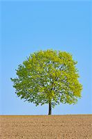earth no people - Field maple (Acer campestre) on field, Odenwald, Hesse, Germany, Europe Stock Photo - Premium Royalty-Freenull, Code: 600-07487431