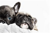 Two puppies snuggled up together in a white fleece Stock Photo - Premium Royalty-Freenull, Code: 613-07492665