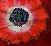 stamen - Red Anemone flower close up Stock Photo - Premium Royalty-Freenull, Code: 6106-07493094