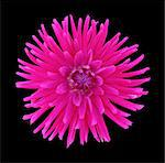 Bright pink cactus dahlia on black background. Stock Photo - Premium Royalty-Free, Artist: Westend61, Code: 6106-07493726