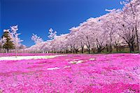 scenic and spring (season) - Cherry trees Stock Photo - Premium Rights-Managednull, Code: 859-07495228