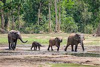 Central African Republic, Dzanga-Ndoki, Dzanga-Bai.  Forest elephants arriving at Dzanga-Bai. Stock Photo - Premium Rights-Managed, Artist: AWL Images, Code: 862-07495866