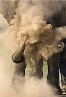 Kenya, Masai Mara, Narok County. A bull elephant dust bathing after wallowing in mud during the middle of the day. Elephants suck up fine powdery dust in their trunks and then blast it over their skin to protect it. Stock Photo - Premium Rights-Managednull, Code: 862-07496039