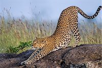 Kenya, Masai Mara, Mara North Conservancy, Leopard Gorge, Narok County. A female leopard stretches as she becomes active in the late afternoon. Stock Photo - Premium Rights-Managednull, Code: 862-07496182