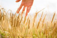 Close up of a woman's hand touching wheat ears Stock Photo - Premium Royalty-Freenull, Code: 6109-07498112