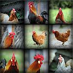 beautiful images with farm birds taken in the farmyard