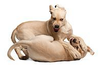 Young Labrador Retriever, 4 months old Stock Photo - Royalty-Freenull, Code: 400-07504232