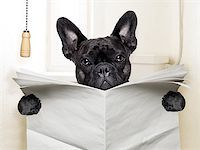 french bulldog  sitting on toilet and reading newspaper Stock Photo - Royalty-Freenull, Code: 400-07513702