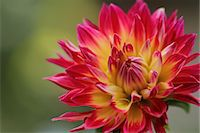 Dahlia Stock Photo - Premium Royalty-Freenull, Code: 622-07519630
