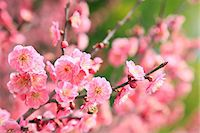 spring flowers - Plum blossoms Stock Photo - Premium Royalty-Freenull, Code: 622-07519725