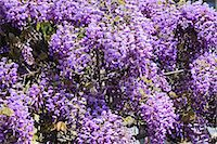 spring flowers - Wisteria Stock Photo - Premium Royalty-Freenull, Code: 622-07519745