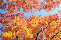 Autumn leaves Stock Photo - Premium Royalty-Freenull, Code: 622-07519766