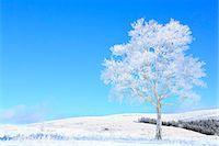 fantastically - Rimed tree Stock Photo - Premium Royalty-Freenull, Code: 622-07519895