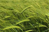 Wheat growing in the field. Stock Photo - Premium Royalty-Freenull, Code: 6118-07521761